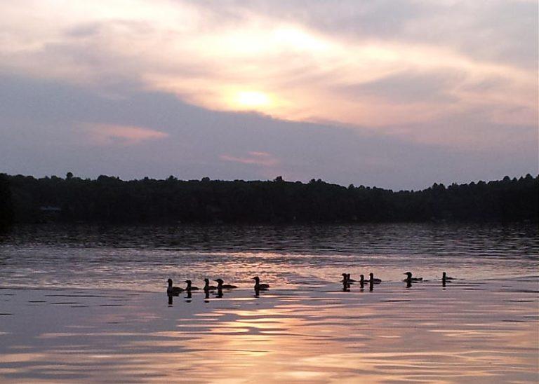 Haliburton, Cottage Rental, Stormy, Lake, Summer, Sunset, ducks, Merganzers